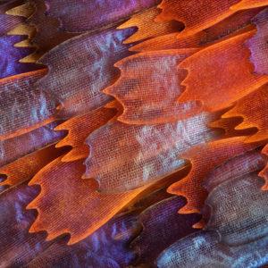 Dziesiąta nagroda: łuski skrzydeł motyla z rodzaju panacea prola. Technika: światło rozproszone odbite, 200x. Autor: Charles Krebs, Issaquah, Waszyngton, USA.
