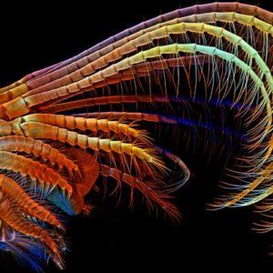 Trzecia nagroda: rozwinięte wyrostki wąsonoga, służące do chwytania planktonu, którym się żywi. Autor: Igor Siwanowicz, HHMI Janelia Farm Research Campus, Ashburn, Virginia, VA, U.S.A. Technika: mikroskopia konfokalna, 100x.