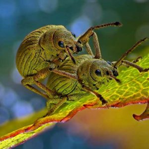 Czwarta nagroda: phyllobius roboretanus, chrząszcze z rodziny ryjkowcowatych, znane również jako naliściaki. Autor: Csaba Pintér, Keszthely, Węgry. Technika: mikroskopia stereoskopowa