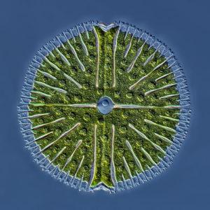 Piąta nagroda: jeziorny jednokomórkowy glon z gromady zielenic z gatunku micrasterias. Technika: nałożone na siebie 22 obrazy uchwycone mikroskopem interferencyjnym z kontrastem interferencyjno-różniczkowym (Nomarski interference contrast). Autor: Rogelio Moreno Gill, Panama City, Panama.