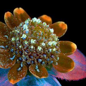Siódma nagroda: Kwiat melampodium divaricatum. Autor: Oleksandr Holovachov, Ekuddsvagen, Szwecja. Technika: fotografia fluorescencyjna, 2x