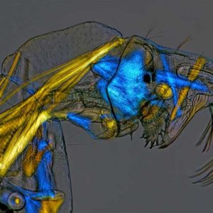 Siódma nagroda: larwa owada wodzienia (chaoborus); dzięki specjalnemu oświetleniu widoczne są mięśnie, zazwyczaj przezroczyste i bezbarwne przy zastosowaniu zjawiska dwójłomności; Autor: Charles Krebs, Issaquah, Washington, U.S.A.; Technika:  światło spolaryzowane, 100x
