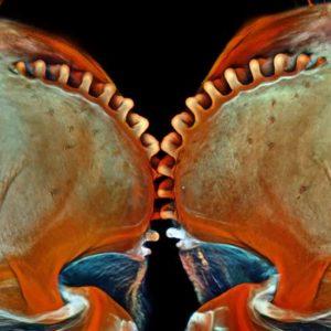 """Dziewiąta nagroda: """"koła zębate"""" nimfy pluskwiaka równoskrzydłego acanalonia conica; owady te są doskonałymi skoczkami, będącymi w stanie rozwinąć przyspieszenie 500 razy większe niż siła grawitacji, dzięki synchronizacji ruchu tylnych kończyn i znajdującemu się w nich połączeniu krętarzy z dwoma """"kołami zębatymi"""". Zdjęcie pokazuje widok grzbietowy """"kół zębatych"""" skoczka. Autor: Igor Siwanowicz, HHMI Janelia Farm Research Campus, Ashburn, VA, Virginia, U.S.A. Technika: mikroskopia konfokalna, ok. 200x"""