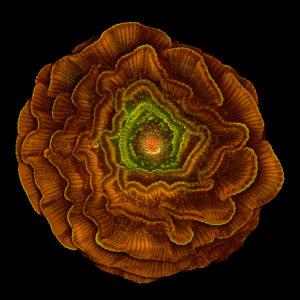 """Dziewiąta nagroda: nasiono ostróżki (delphinium). Technika: fotografia została wykonana z kilku obrazów uzyskanych za pomocą mikroskopu epifluorescencyjnego. Autor: Masoumeh """"Sahar"""" Khodaverdi, Uniwersytet w Tebriz, Iran."""