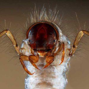 Dziewiąta nagroda: głowa i odnóża larwy chruścika (sericostoma sp.), makrobezkręgowca bentosowego; owad ten może być wykorzystywany do monitorowania wód słodkich, gdyż jest stosunkowo wrażliwy na zanieczyszczenia organiczne - umiera, jeśli woda jest brudna; z tego względu jest dobrym wskaźnikiem jakości wody. Autor: Fabrice Parais, Directions Régionales de l'Environnement, de l'Aménagement et du Logement (DREAL), Dolna Normandia, Caen, Francja; Technika: mikroskopia stereoskopowa 15x.